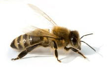 honey bee - importance of bees