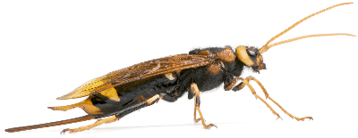 wood wasp - importance of bees